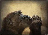 gorila-rezando_68286301_orig_